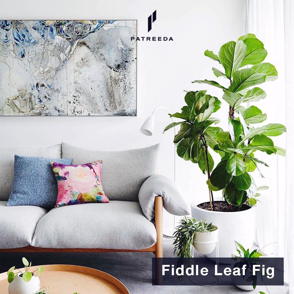 ต้นไทรใบสัก (Fiddle Leaf Fig)