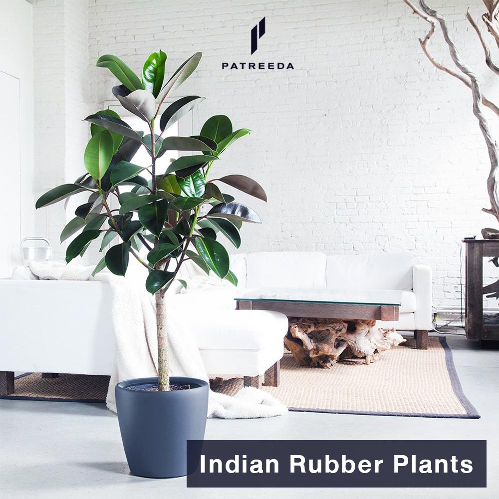 ต้นยางอินเดีย (Indian Rubber Plants)