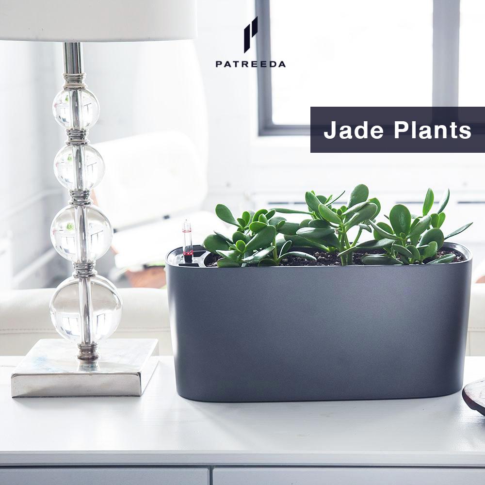ต้นไม้สวรรค์ (Jade Plants)