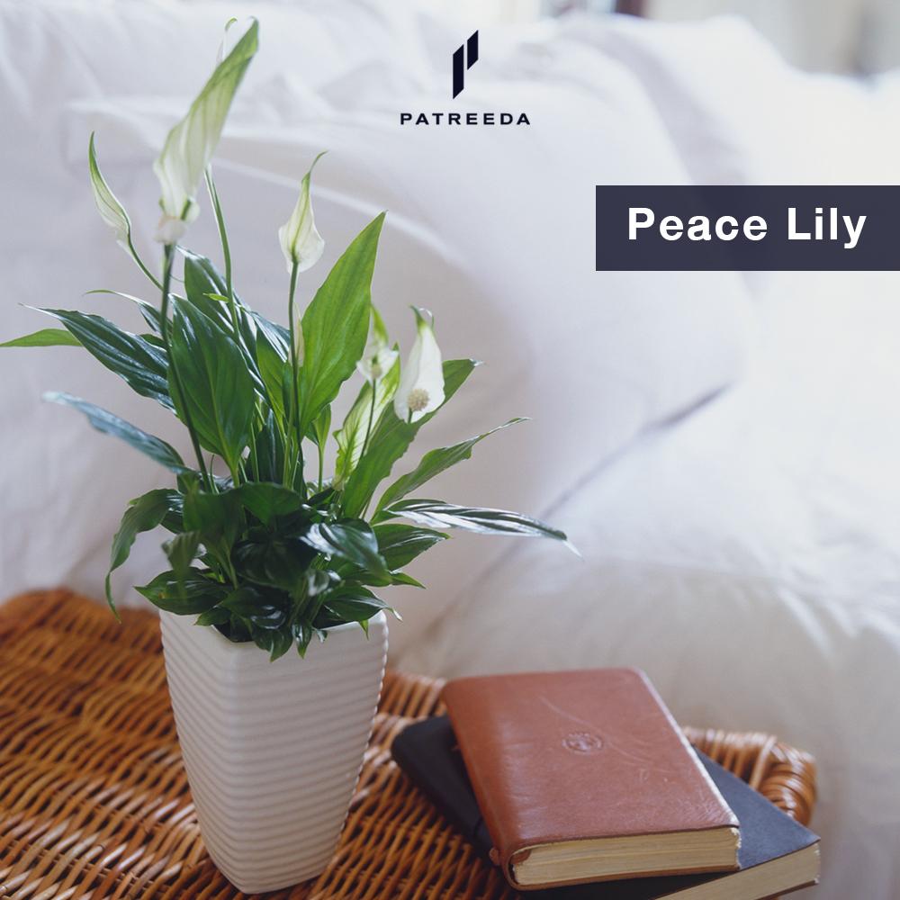 ต้นเดหลี (Peace Lily)