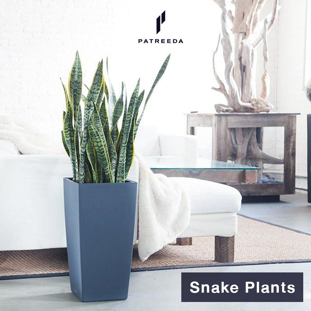 ต้นลิ้นมังกร (Snake Plants)